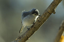 Tropical Gnatcatcher - South Ecuador S4E9164 (18679233383).jpg