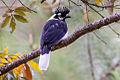 Tufted Jay (Cyanocorax dickeyi) (8079385338).jpg