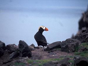 Bogoslof Island - Image: Tufted Puffin Bogoslof Island