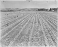 Tule Lake Relocation Center, Newell, California. A scene on a farm near the site selected for a War . . . - NARA - 536218.tif