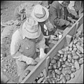 Tule Lake Relocation Center, Newell, California. Seed potato cutting at the cutting sheds of the Tu . . . - NARA - 537138.jpg