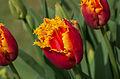 Tulipe 'Davenport'.jpg