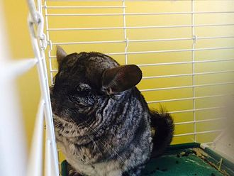 Long-tailed chinchilla - A domesticated chinchilla in a cage