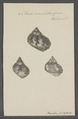 Turbo crenulatus - - Print - Iconographia Zoologica - Special Collections University of Amsterdam - UBAINV0274 082 23 0023.tif