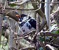 Turdus merula -Cradley, England -pied-8.jpg