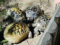 Turtle in Mini Zoo, Kraków.JPG