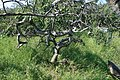 Twisted aspen tree (Crooked Bush, Saskatchewan, 2008).jpg