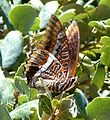 Two-tailed Pasha. Charaxes jasius - Flickr - gailhampshire (3).jpg