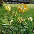 Two-tone cowslips - geograph.org.uk - 766242.jpg