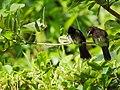 Two konda kurrullo purching in the tree branch.jpg