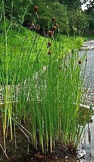 <i>Typha minima</i> species of plant