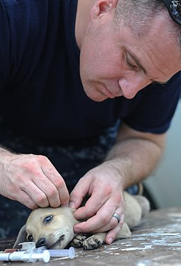 US Navy 110827-N-NY820-490 Lt. Matt Swain removes ticks from a puppy at a temporary veterinary clinic during Continuing Promise 2011