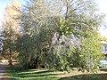 Ulmus pumila (5107230665).jpg