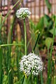 Umbel of onion flowers-Koshi Tappu Wildlife Reserve-Paschim Kasuha 09.JPG