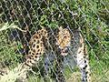 Un léopard - Le Parc de la Tête d'Or - Lyon (12).JPG