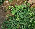 Uraria rufescens W IMG 2673.jpg