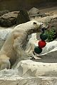 Ursus maritimus at the Bronx Zoo 011.jpg