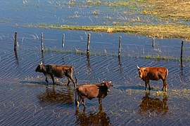 Vacas, vista aérea del delta del Okavango, Botsuana, 2018-08-01, DD 47.jpg