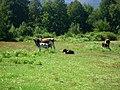 Vacas en el Valle de las Catas en Radal Siete Tazas.jpg
