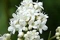 Valeriana.dioica5.-.lindsey.jpg