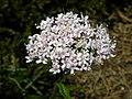 Valeriana montana - Berg-Baldrian auf der Rax.jpg