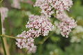 Valeriana sambucifolia-IMG 4285.jpg