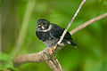 Variable Seedeater, Sporophila corvina.jpg