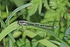 Variable damselfly (Coenagrion pulchellum) immature female blue form Estonia.jpg