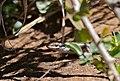 Variegated Skink (Trachylepis variegata) (32704165356).jpg