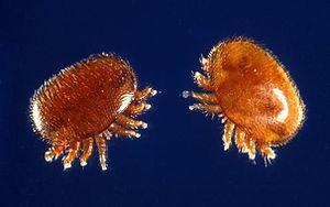 Varroa-Weibchen