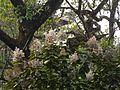 Vernonia arborea (5598471618).jpg