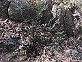 Veronica perfoliata (23945880578).jpg