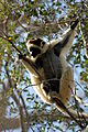 Verreauxsifaka in Kirindy 03.JPG