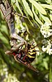 Vespa crabro fighting with praying Mantis over a small bee (32895132912).jpg