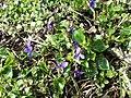 Viola alba subsp. violacea sl13.jpg