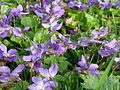 Viola odorata maarts viooltje 2.JPG