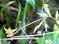 Viola tricolor Bresnica 1.JPG