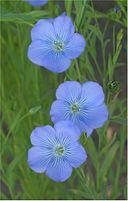 Vlas blauwbloeiend (Linum usitatissimum)