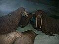 Walrus(Odobenus rosmarus)~11-29-08.jpg