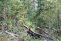 Wapta Falls Trail IMG 4990.JPG