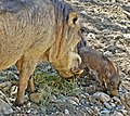 Warthog and Baby, Living Desert 3-15 (16173981383).jpg
