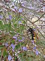 Wasp on Limonium, Limni Strofilias, Greece.jpg