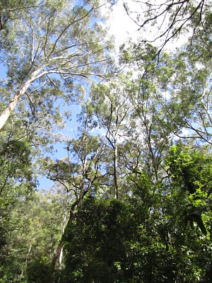 Watagans National Park - Image: Watagans trees