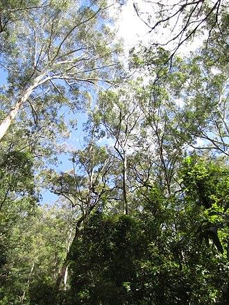 Watagans National Park - Image: Watagans trees
