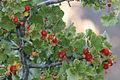 Wax currant Ribes cereum berries close.jpg