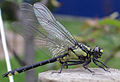 Wazka9 Odonata.jpg