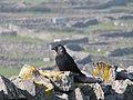 Western Jackdaw on Inisheer (perched).jpg