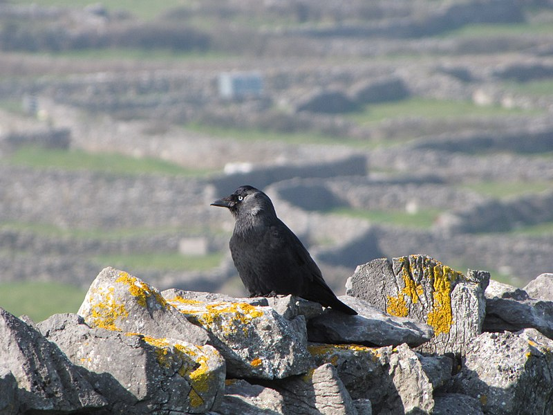 Податотека:Western Jackdaw on Inisheer (perched).jpg