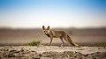 White-footed fox in its Desert Habitat.jpg