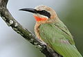 White-fronted Bee-eater, Merops bullockoides, at Rietvlei Nature Reserve, Gauteng, South Africa (15863578050).jpg